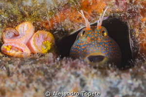Blenny  smile,Plataforma Tiburon Mexico by Alejandro Topete 